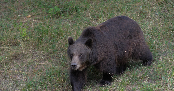 Great Britain: Bears ran out and attacked the boar.  They were shot
