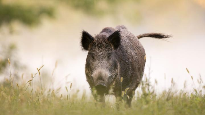 Wild boar groups from different parts of Europe meet in Poland