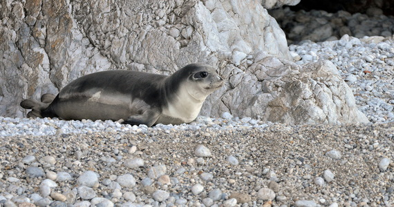 Greece: Kostis seal is dead.  The animal was killed by an unknown